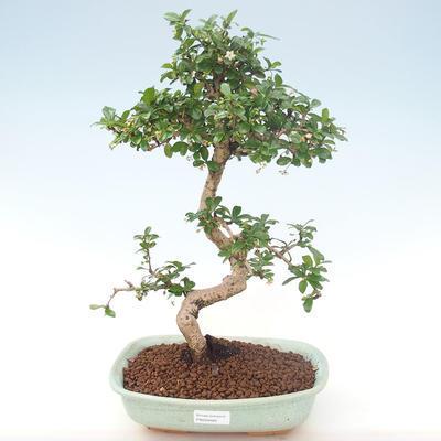 Indoor-Bonsai - Carmona macrophylla - Tee fuki PB220465 - 1