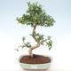 Indoor-Bonsai - Carmona macrophylla - Tee fuki PB220465 - 1/5