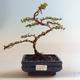 Outdoor Bonsai-Cotoneaster horizontalis-Cotoneaster VB2020-466 - 1/2