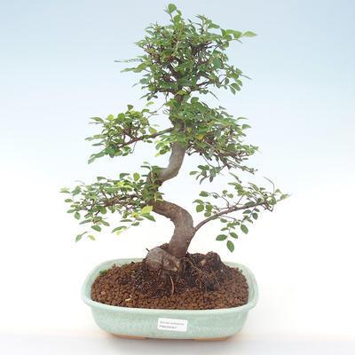Indoor-Bonsai - Ulmus parvifolia - Kleine Blattulme PB220467 - 1