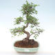 Indoor-Bonsai - Ulmus parvifolia - Kleine Blattulme PB220467 - 1/3