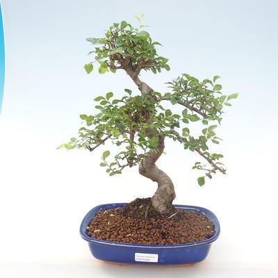 Indoor-Bonsai - Ulmus parvifolia - Kleine Blattulme PB220468 - 1