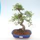 Indoor-Bonsai - Ulmus parvifolia - Kleine Blattulme PB220468 - 1/3