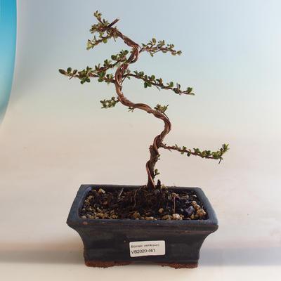 Outdoor Bonsai-Cotoneaster horizontalis-Cotoneaster VB2020-461 - 1