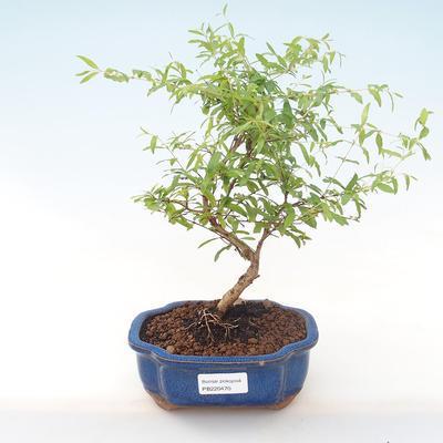 Innen Bonsai-PUNICA Granatum Nana-Granatapfel PB220470 - 1