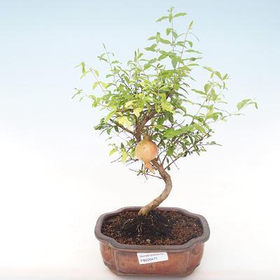Innen Bonsai-PUNICA Granatum Nana-Granatapfel PB220471 - 1