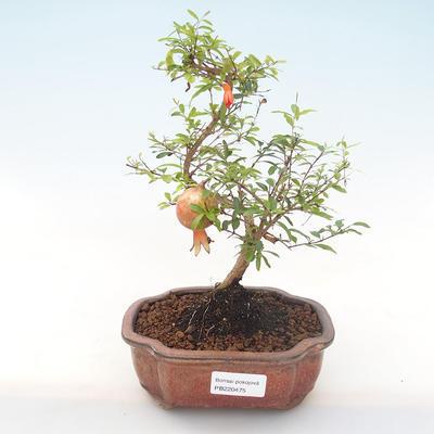 Innen Bonsai-PUNICA Granatum Nana-Granatapfel PB220475 - 1