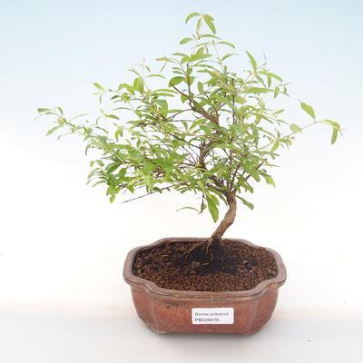 Innen Bonsai-PUNICA Granatum Nana-Granatapfel PB220476 - 1