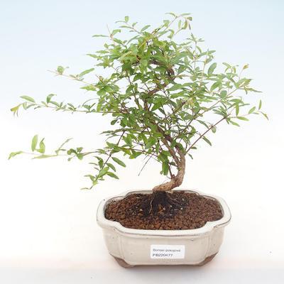Innen Bonsai-PUNICA Granatum Nana-Granatapfel PB220477 - 1