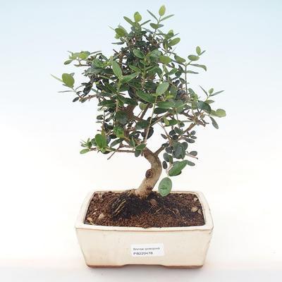 Indoor Bonsai - Olea europaea sylvestris -Oliva Europäisches kleines Blatt PB220478 - 1