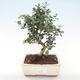 Indoor Bonsai - Olea europaea sylvestris -Oliva Europäisches kleines Blatt PB220478 - 1/5