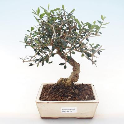 Indoor Bonsai - Olea europaea sylvestris -Oliva Europäisches kleines Blatt PB220479 - 1