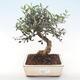 Indoor Bonsai - Olea europaea sylvestris -Oliva Europäisches kleines Blatt PB220479 - 1/5