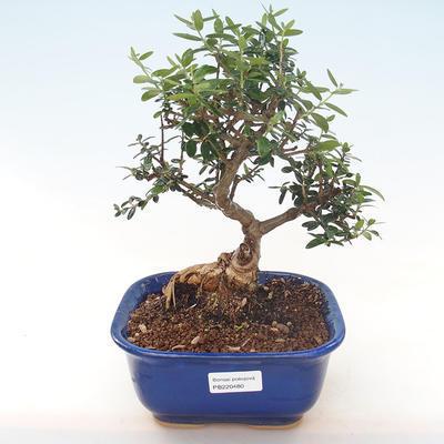 Indoor Bonsai - Olea europaea sylvestris -Oliva Europäisches kleines Blatt PB220480 - 1