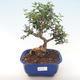 Indoor Bonsai - Olea europaea sylvestris -Oliva Europäisches kleines Blatt PB220480 - 1/5
