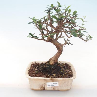 Indoor Bonsai - Olea europaea sylvestris -Oliva Europäisches kleines Blatt PB220482 - 1