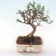 Indoor Bonsai - Olea europaea sylvestris -Oliva Europäisches kleines Blatt PB220482 - 1/5