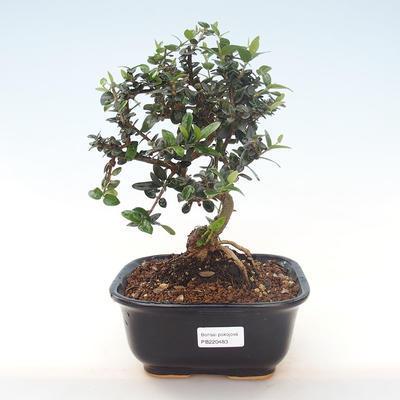 Indoor Bonsai - Olea europaea sylvestris -Oliva Europäisches kleines Blatt PB220483 - 1