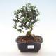 Indoor Bonsai - Olea europaea sylvestris -Oliva Europäisches kleines Blatt PB220483 - 1/5