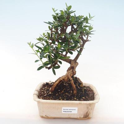 Indoor Bonsai - Olea europaea sylvestris -Oliva Europäisches kleines Blatt PB220484 - 1