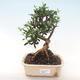 Indoor Bonsai - Olea europaea sylvestris -Oliva Europäisches kleines Blatt PB220484 - 1/5