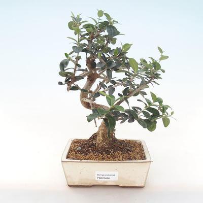 Indoor Bonsai - Olea europaea sylvestris -Oliva Europäisches kleines Blatt PB220485 - 1