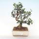 Indoor Bonsai - Olea europaea sylvestris -Oliva Europäisches kleines Blatt PB220485 - 1/5