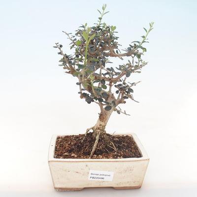Indoor Bonsai - Olea europaea sylvestris -Oliva Europäisches kleines Blatt PB220486 - 1