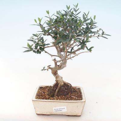 Indoor Bonsai - Olea europaea sylvestris -Oliva Europäisches kleines Blatt PB220487 - 1