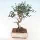 Indoor Bonsai - Olea europaea sylvestris -Oliva Europäisches kleines Blatt PB220487 - 1/5