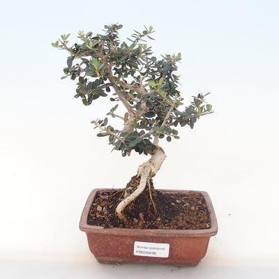 Indoor-Bonsai - Olea europaea sylvestris -Oliva Europäisches kleines Blatt PB220495 - 1