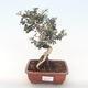 Indoor-Bonsai - Olea europaea sylvestris -Oliva Europäisches kleines Blatt PB220495 - 1/5