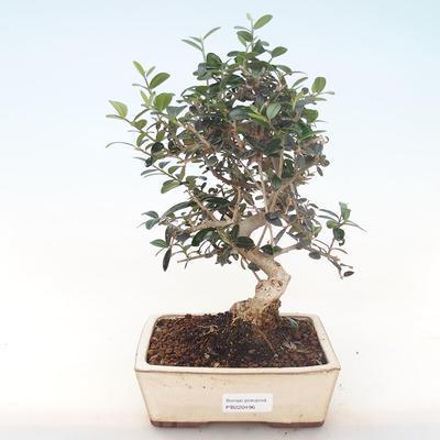 Indoor-Bonsai - Olea europaea sylvestris -Oliva Europäisches kleines Blatt PB220496 - 1
