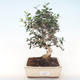 Indoor-Bonsai - Olea europaea sylvestris -Oliva Europäisches kleines Blatt PB220496 - 1/5