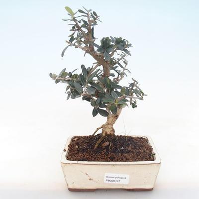 Indoor Bonsai - Olea europaea sylvestris -Oliva Europäisches kleines Blatt PB220497 - 1