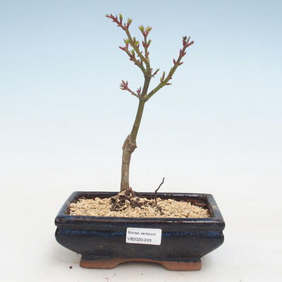 Bonsai im Freien - Acer palmatum SHISHIGASHIRA - Kleiner Ahorn VB2020-249 - 1