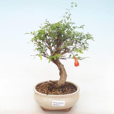 Innen Bonsai-PUNICA Granatum Nana-Granatapfel PB220511 - 1