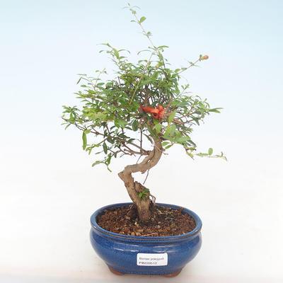 Innen Bonsai-PUNICA Granatum Nana-Granatapfel PB220512 - 1