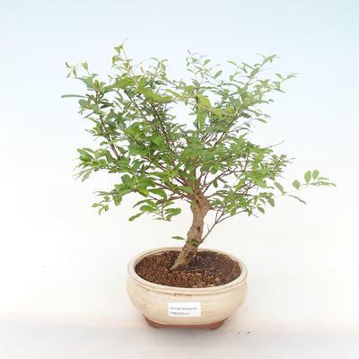 Innen Bonsai-PUNICA Granatum Nana-Granatapfel PB220515 - 1