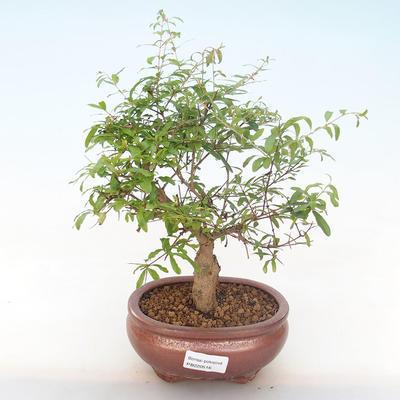 Innen Bonsai-PUNICA Granatum Nana-Granatapfel PB220516 - 1