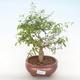 Innen Bonsai-PUNICA Granatum Nana-Granatapfel PB220516 - 1/3