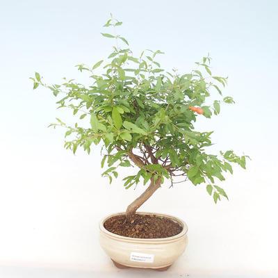 Innen Bonsai-PUNICA Granatum Nana-Granatapfel PB220517 - 1