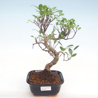 Indoor Bonsai - Ficus kimmen - kleiner Blattficus PB220053