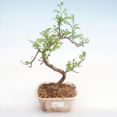 Indoor Bonsai - Zantoxylum piperitum - Pfefferbaum PB22074 - 1