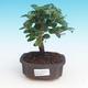Zimmerbonsai - Carmona macrophylla - Tee fuki - 1/5