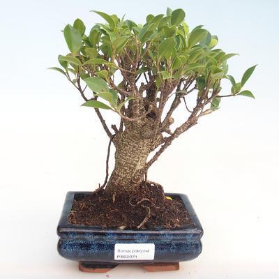 Innenbonsai - Ficus retusa - kleiner Blattficus PB22071 - 1