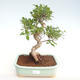 Innenbonsai - Ficus retusa - kleiner Blattficus PB22081 - 1/2