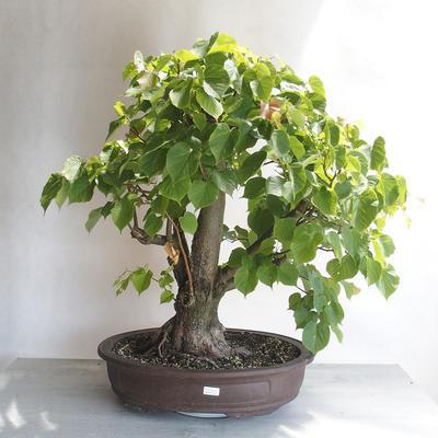 Bonsai im Freien - Linden - Tilia cordata - 1