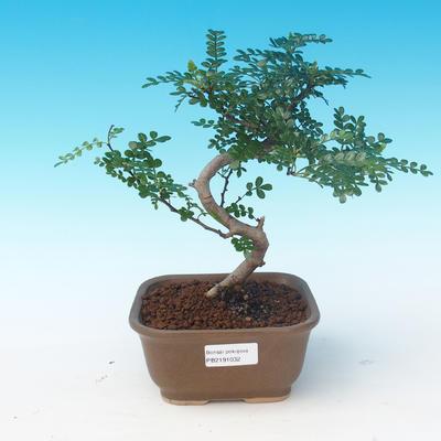 Zimmerbonsai - Zantoxylum piperitum - Pepřovník - 1
