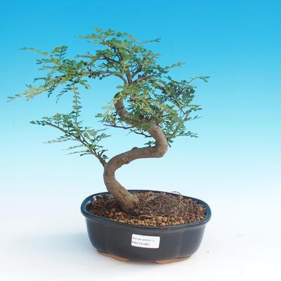 Zimmer Bonsai - Zantoxylum piperitum - Pepřovník - 1